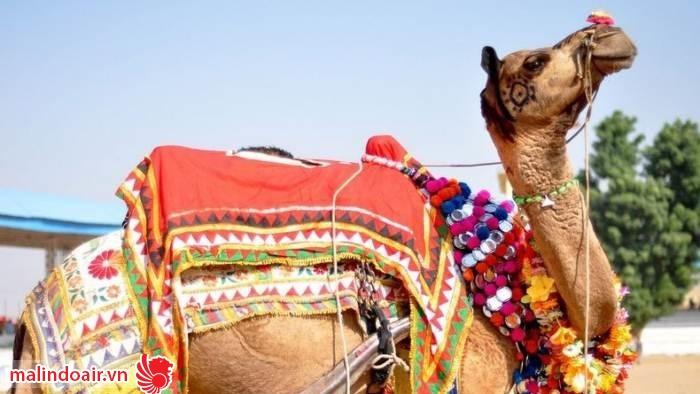Những chú lạc đà sẽ được trang điểm thật lộng lẫy để tham dự lễ hội