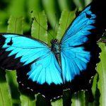 Bướm papilio blumei thuộc họ bướm phượng