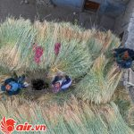 Lúa mạch là nông sản chính ở Ladakh