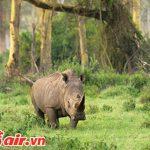 Tê giác Java trong Vườn quốc gia Ujung Kulon