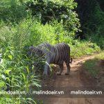 Bạn có thể bắt gặp nhiều động vậy quý hiếm ở Vườn quốc gia Sanjay Gandhi. Tiêu biểu như chú Bạch Hổ này